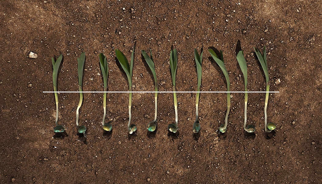 This is an image of consistently emerged corn plants.